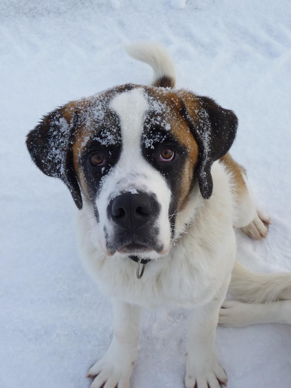 Saint Bernard Tout Savoir Sur Cette Race Dogsplanet Com