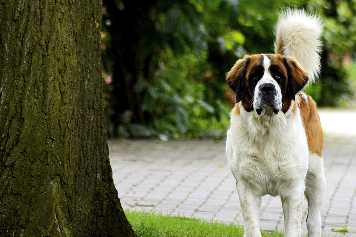 saint-bernard photo 4