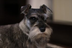 schnauzer photo 2