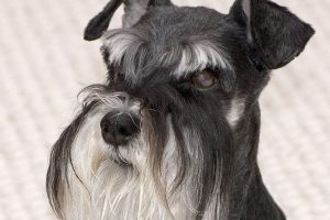schnauzer photo 3