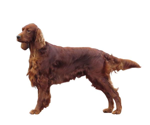 Setter Irlandais Tout Savoir Sur Cette Race Dogsplanet Com