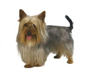 El terrier sedoso australiano