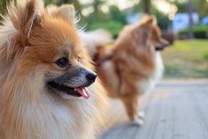 close-up of a German Spitz