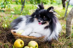 Black and white German Spitz