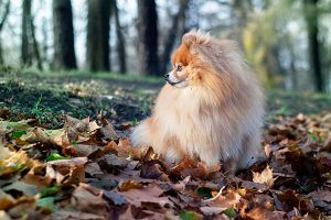 German Spitz in the countryside
