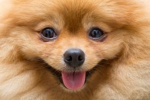 face of the German Spitz