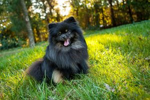 German Spitz on the lawn