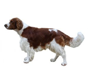 springer spaniel gallois