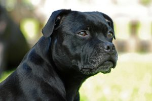 staffordshire bull terrier photo 2