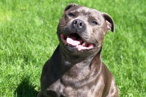 staffordshire bull terrier photo 3