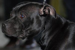 staffordshire bull terrier photo 4