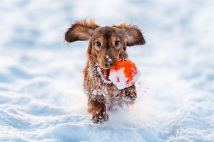 dachshund in the snow