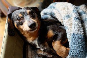 recumbent dachshund