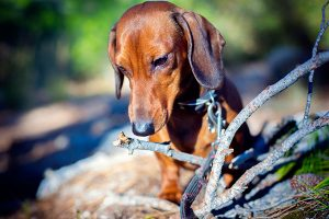 dachshund eating a branch