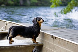 dachshund at the water's edge