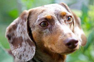 dachshund face