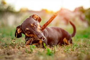 stick-eating dachshund