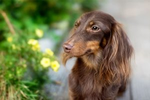 dachshund sitting still