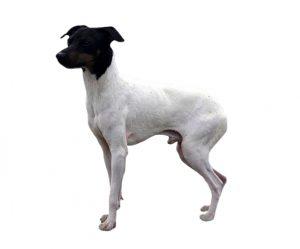 El terrier japonés