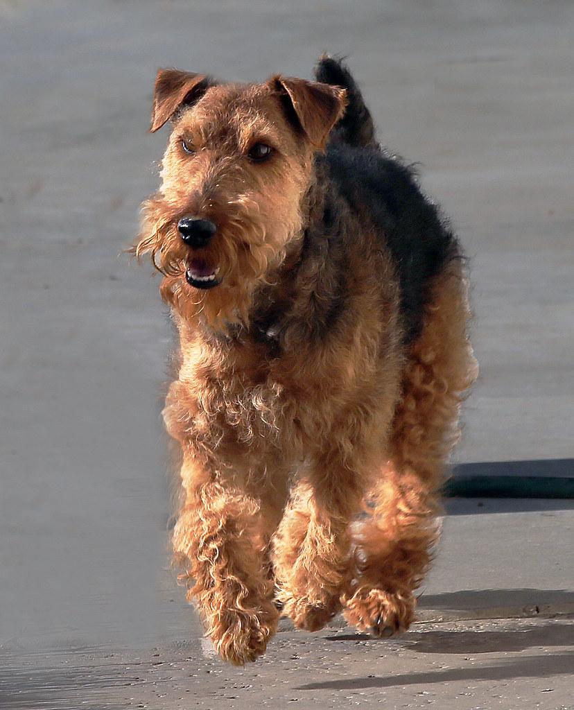 welsh terrier personnalité