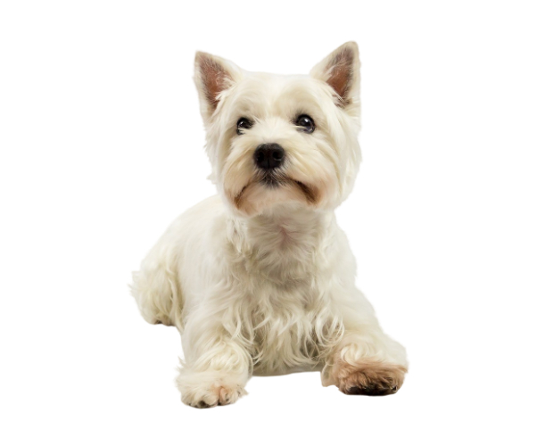 West Highland White Terrier All About This Breed Dogsplanet Com