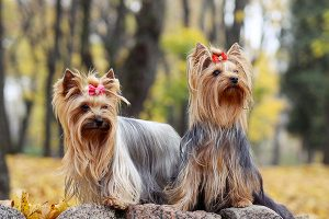 2 yorkshire terrier assis