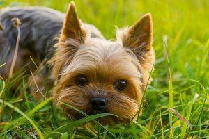 petite face du yorkshire terrier