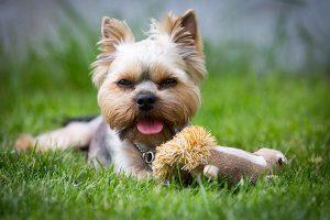 yorkshire terrier avec un jouet