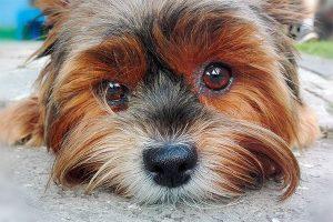 tête du yorkshire terrier