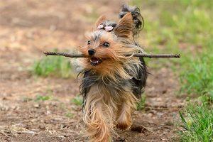 yorkshire terrier s'amuse avec un bâton