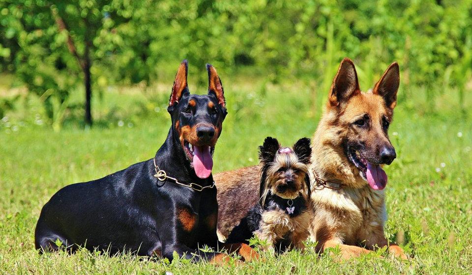 Reconnaître races chien