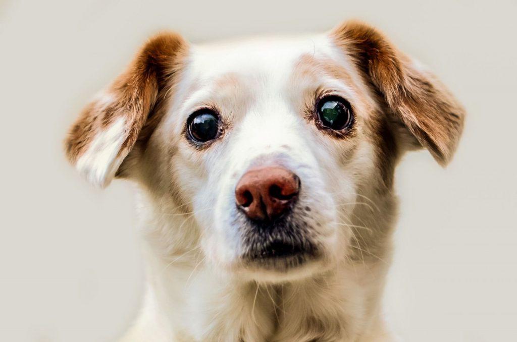 adopter un chien tout savoir