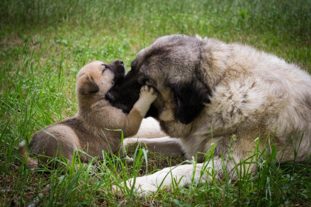 alimentation chienne allaitement