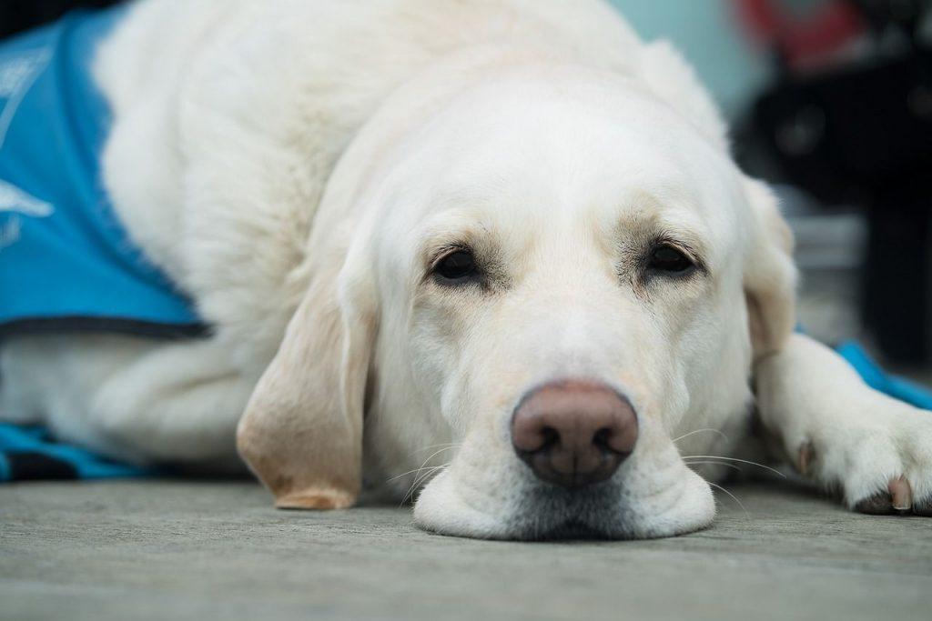 chien âgé maladies
