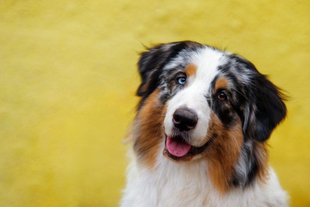adopter chien de taille moyenne berger australien