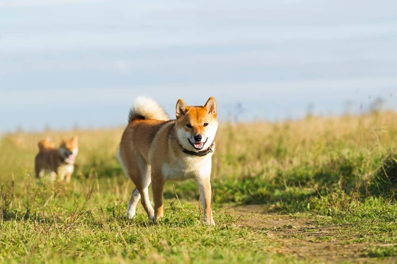 chien japonais