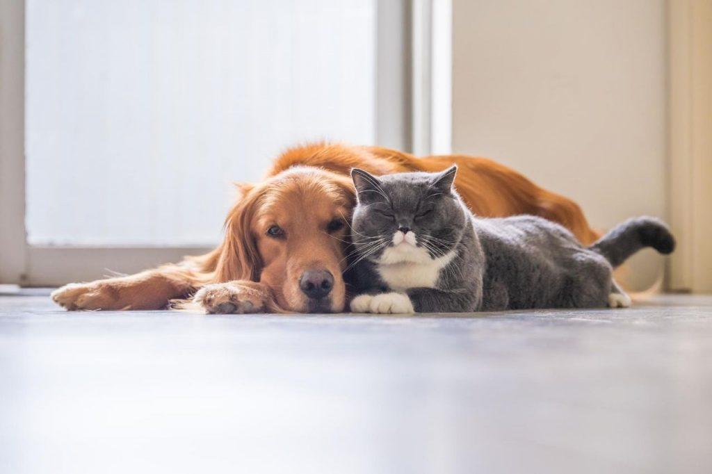 race chien qui s'entend bien avec chat