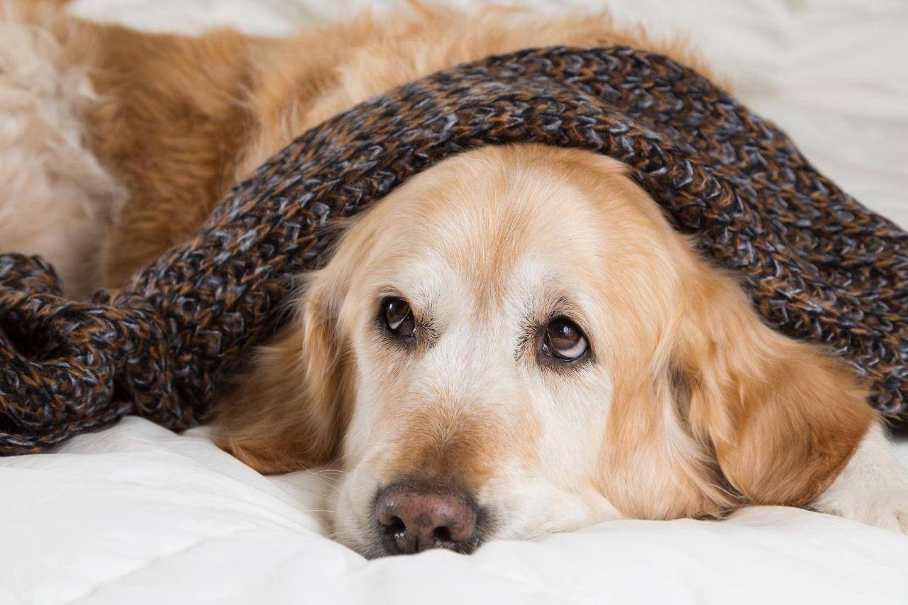 rhume chien
