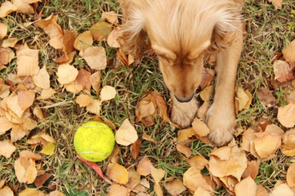 balle de tennis chien