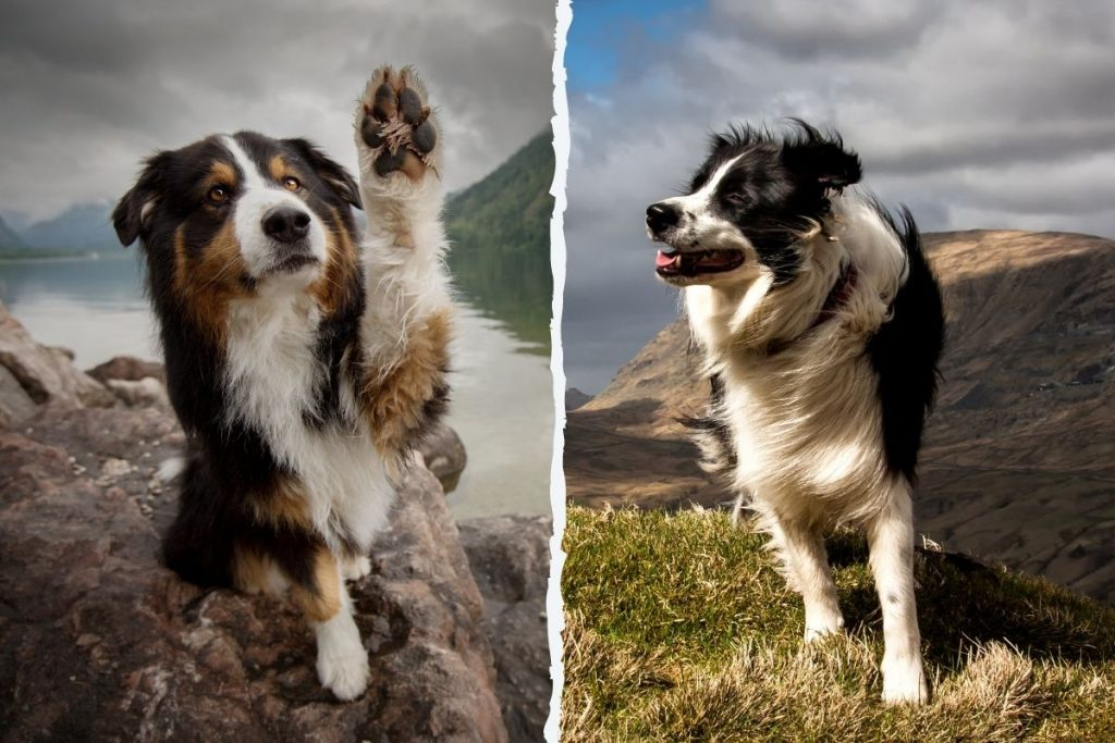 berger australien border collie