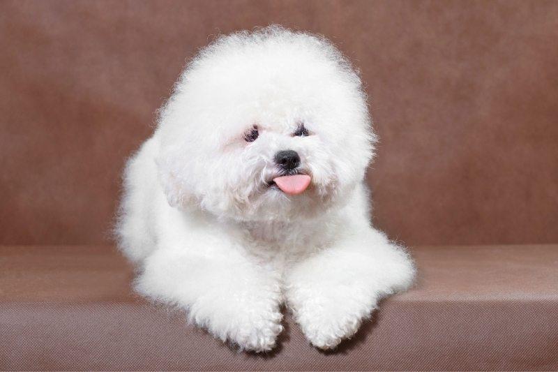 bichon frise best family dog