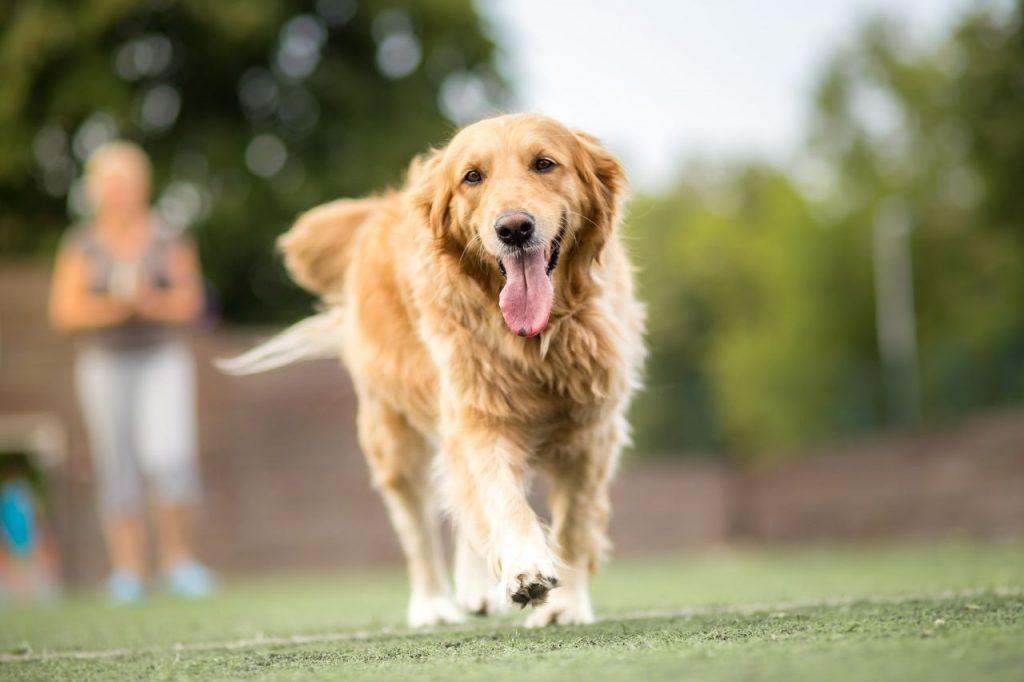 chien sans laisse