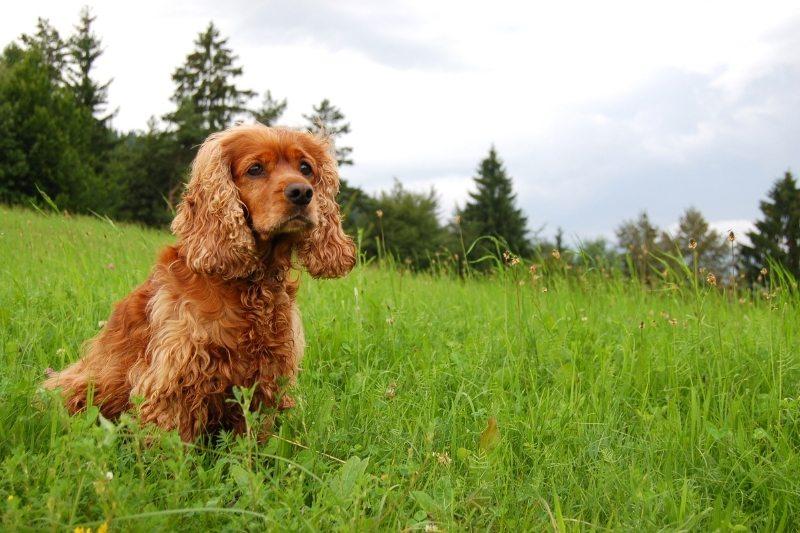 cocker spaniel family dogs breeds