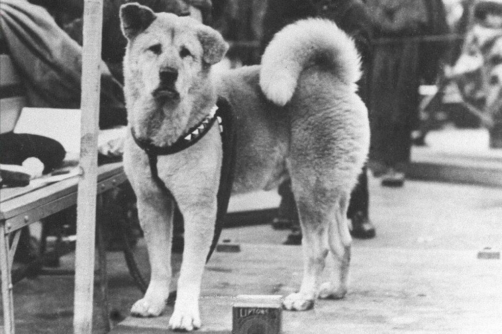 hachiko chien
