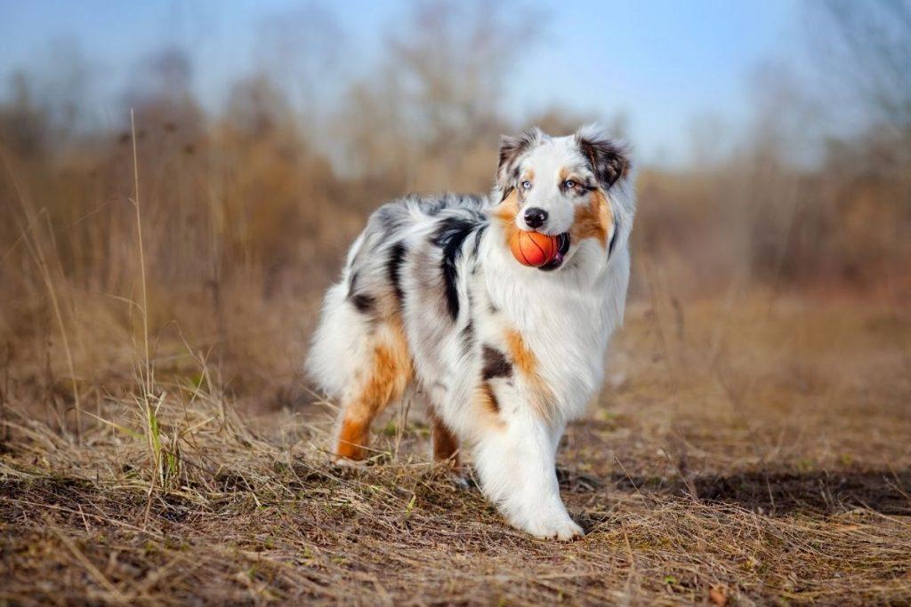 berger australien race chien moyen