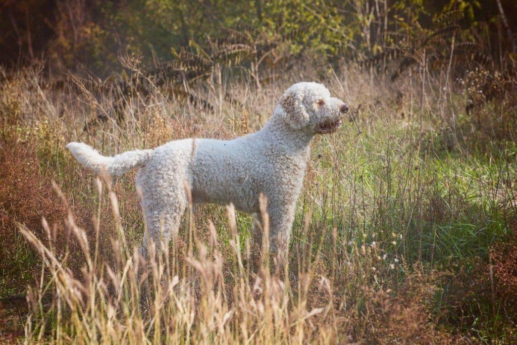 chien d'eau romagnol