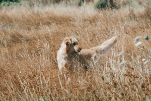 golden retriever debout champ