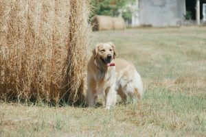 golden retriever foin