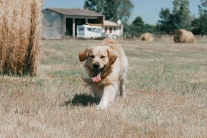 golden retriever qui court