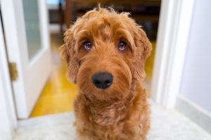 goldendoodle apparence